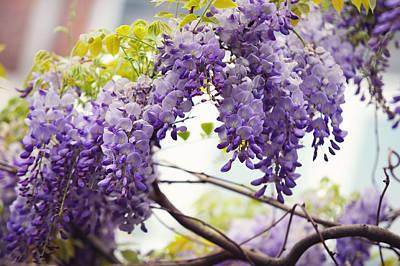 Photograph - Wisteria Garden 1 by Jenny Rainbow