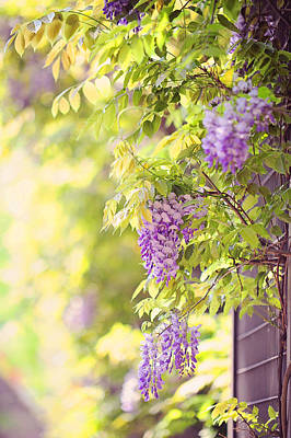 Photograph - Wisteria Garden 11 by Jenny Rainbow