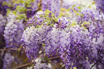 Photograph - Wisteria Garden 2 by Jenny Rainbow