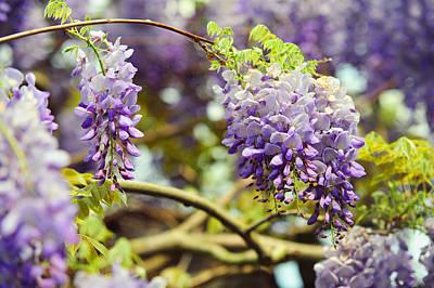 Photograph - Wisteria Garden 7 by Jenny Rainbow