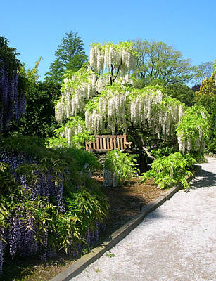 Wisteria In Bloom Photograph - Wisteria Garden by Susan Maxwell Schmidt