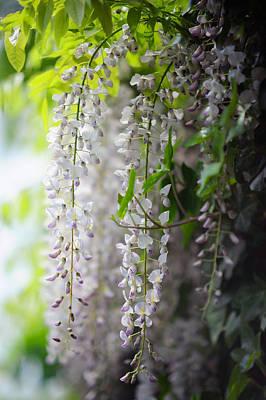 Photograph - Wisteria Garden. White Wisteria by Jenny Rainbow