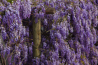 Wisteria Art Print by Garry Gay