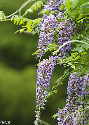 Photograph - Wisteria Group by Wanda Krack