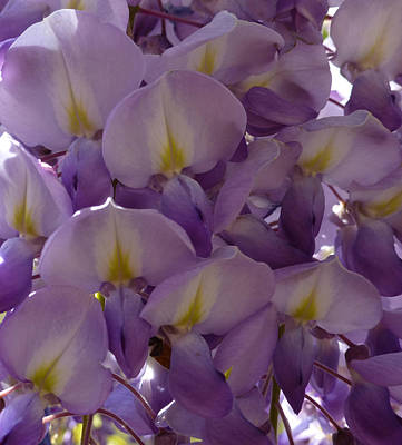 Photograph - Wisteria Hysteria by Claudia Goodell