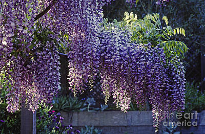 Photograph - Wisteria In Bloom by Craig Lovell