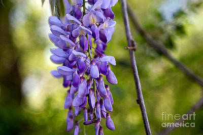Photograph - Wisteria In Purple by Sally Simon