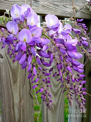 Photograph - Wisteria  by Jean Wright