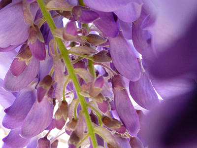 Photograph - Wisteria Macro 1 by Claudia Goodell