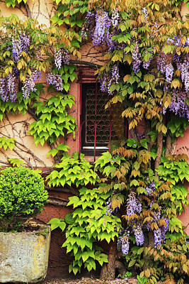 Wisteria In Bloom Photograph - Wisteria On A Home In Zellenberg France 3 by Greg Matchick