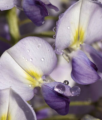 Photograph - Wisteria by Richard Thomas
