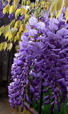 Photograph - Wisteria by Susan Leake