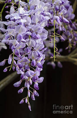 Photograph - Wisteria by Tamara Becker