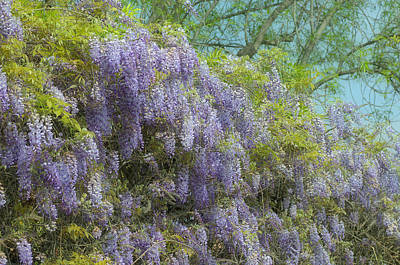 Photograph - Wisteria Wall by Fraida Gutovich