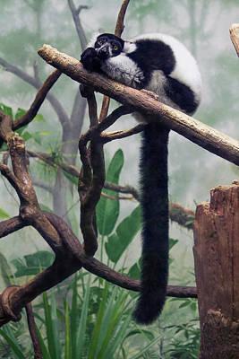 Photograph - Wistful Lemur by Craig Thomas