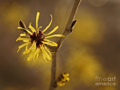 Photograph - Witch Hazel by Inge Riis McDonald