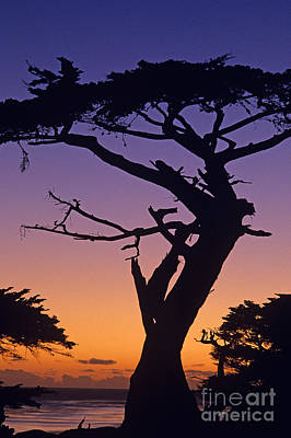 Photograph - Witch Tree Monterey by Jim Corwin