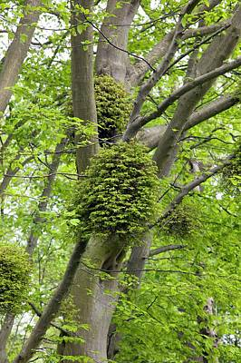 Witches Broom Photograph - Witches' Brooms On Carpinus Betulus by Dr Jeremy Burgess