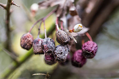 Photograph - Withered Berries by Gary Gillette