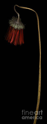Gerbera Daisy Photograph - Withered Red Gerbera Daisy by Oscar Gutierrez