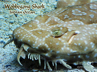 Photograph - Wobbegong Shark by Methune Hively