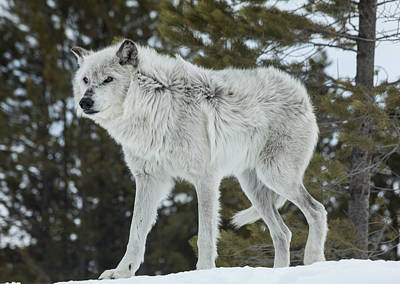 Photograph - Wolf - Discovery by Fran Riley