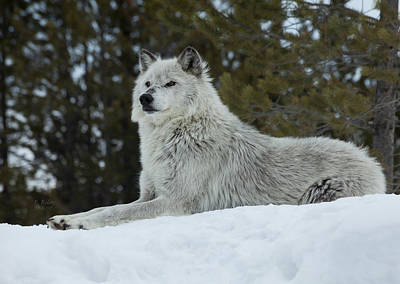Photograph - Wolf - Peaked Interest by Fran Riley