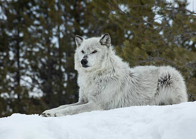 Photograph - Wolf - Resting by Fran Riley