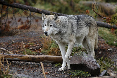 Photograph - Wolf 7 by Lee Kirchhevel