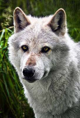 Featured Photograph - Wolf Alpha Male by Marcia Colelli