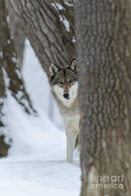 Photograph - Wolf Between The Trees by Dan Friend