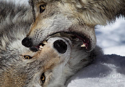 Animals Royalty-Free and Rights-Managed Images - Wolf Bite by Jerry Fornarotto