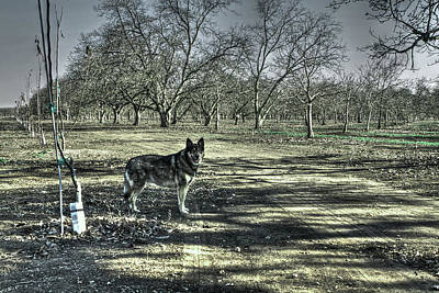 Photograph - Wolf Dog In Orchard by SC Heffner