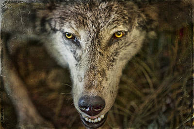 State Love Nancy Ingersoll Rights Managed Images - Wolf Royalty-Free Image by Evie Carrier