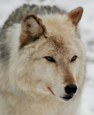 Photograph - Wolf Expressions by Richard Bryce and Family