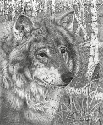 Drawing - Wolf Gaze by Barb Schacher