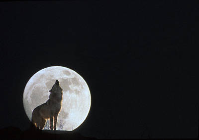 Manipulated Digital Photograph - Wolf Howling At Full Moonncaptive by John Warden