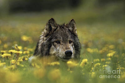 Wolf Photograph - Wolf In Dandelions by Wildlife Fine Art