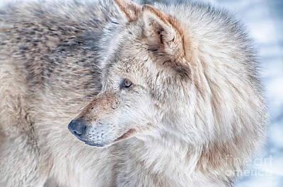 Photograph - Wolf In Disguise by Bianca Nadeau