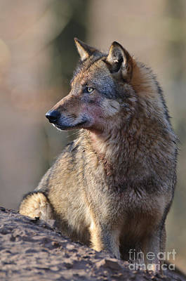 European Wolf Photograph - Wolf In Germany by Willi Rolfes