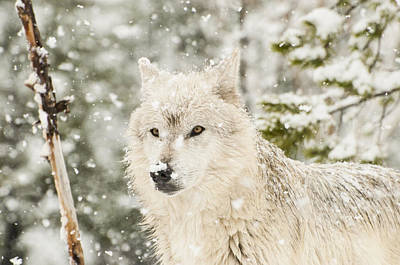 Wolf In Snow Art Print