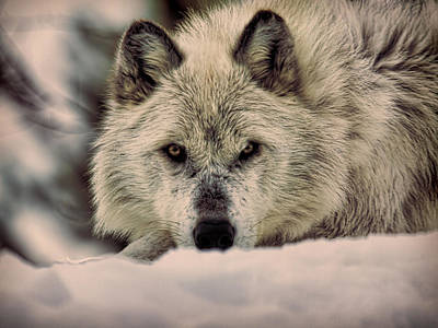Photograph - Wolf In Snow by Steve McKinzie
