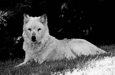 Photograph - Wolf In The Zoo by Victoria Sheldon