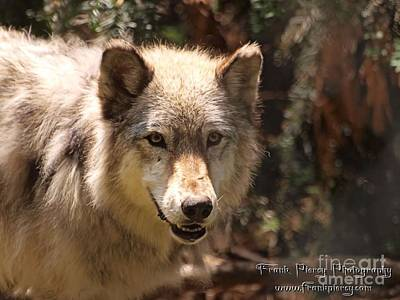 Wolf Intently Art Print by Frank Piercy