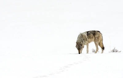 Photograph - Wolf Journey by Deby Dixon