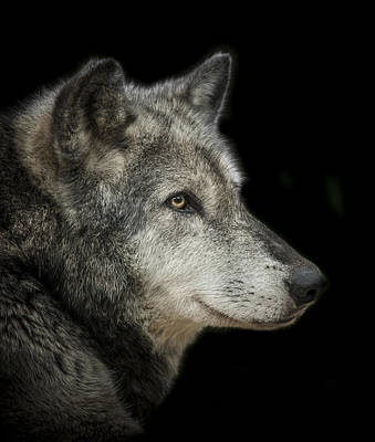 Wolves Photograph - Wolf by Paul Neville