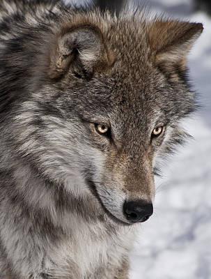 Photograph - Wolf Portrait by Patrick Boening