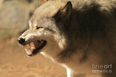 Photograph - Wolf Power by Kate Purdy