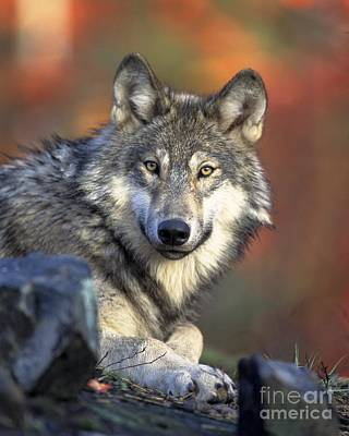 Art Print featuring the photograph Wolf Predator Canidae Canis Lupus Hunter by Paul Fearn