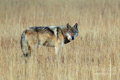 Photograph - Wolf Profile by Bill Singleton